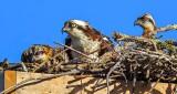 Osprey Family DSCN10465