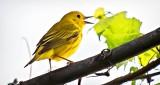 Yellow Warbler Warbling DSCN10722