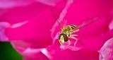 Hoverfly On A Pink Peony DSCN11367