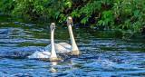 Town Swans DSCN11445