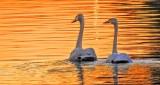 Swans At Sunrise DSCN11517
