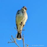 Getting The Kingbird Eye DSCN11667