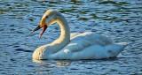 Swan Honking DSCN11877