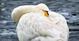 Snoozing Swan DSCN12028