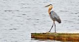 Heron Walking A Dock DSCN12058