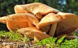 Mushroom Gills DSCN12258
