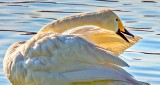 Preening Swan DSCN12407