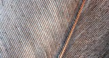 Goose Feather Closeup DSCN11960