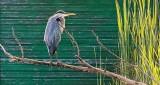 Backlit Heron In A Tree DSCN12460
