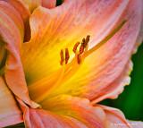 Pink Daylily Stamen DSCN12984