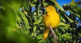 Yellow Warbler In A Tree DSCN13030