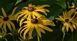 Sunstruck Black-eyed Susans DSCN13618