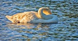 Camera Shy Swan DSCN11870