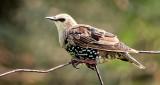Starling On A Fence DSCN14010