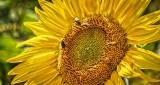 Buggy Sunflower DSCN14046