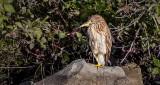 Juvenile Black-crowned Night Heron DSCN14313