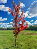 First Red Tree Of Autumn IMG_0142