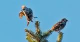 Two Starlings DSCN15570