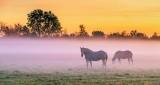 Horses In Sunrise Ground Fog P1260332-4