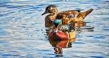 Wood Duck Couple DSCN15822