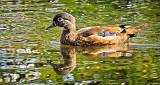 Female Wood Duck DSCN15816