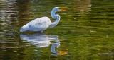 Egret With Snack DSCN15742