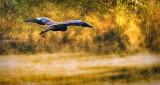 Heron In Flight DSCN15495