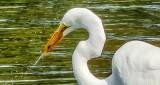Egret With Snack DSCN15685 (crop)