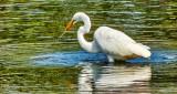 Egret With Snack DSCN15685