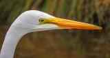Great Egret Profile DSCN16254