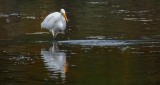 Egret With Catch DSCN16183