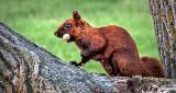 Brown Squirrel DSCN16870