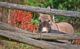 Molly the Donkey P1270165