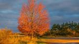 Autumn Tree In Sunrise Glow DSCN16930