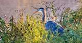 Heron In The Weeds DSCN15489-90