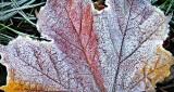 Frosty Autumn Leaf DSCN17158