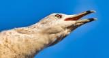 Loudmouth Gull Closeup DSCN17223