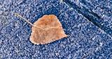Autumn Leaf & Frost P1270485-7