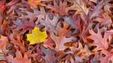 Autumn Leaves P1270503-5 'Art'