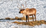 Reindeer P1280661-5