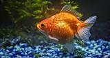 Goldfish P1290052
