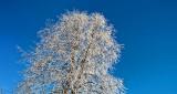 Frosted Treetop DSCN18611-3