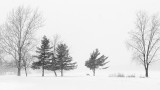 Three Pines In Snowstorm DSCN19061-3