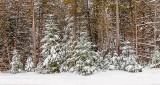 Snowy Pines DSCN19181-3