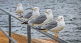 Gulls & Terns of Ontario
