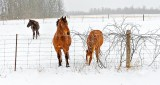 Equine Pals On A Snowy Day DSCN19822
