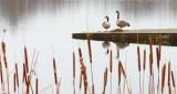 Two Geese On The Poop Dock DSCN20162