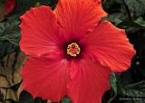 Red Hibiscus DSCN20240-1