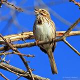 Song Sparrow Singing DSCN20595