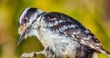 Downy Woodpecker DSCN20732